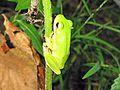 American Green Tree Frog (Hyla cinerea) - Flickr - GregTheBusker (1).jpg