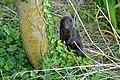 American Mink (Neovison vison) (25968969293).jpg