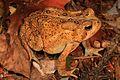American Toad - Anaxyrus americanus, Meadowood Farm SRMA, Mason Neck, Virginia - 30444223466.jpg