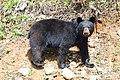 American black bear Gros Mornе NFL.jpg