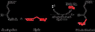 Bildung von δ-Aminolävulinat