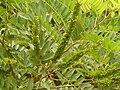 Amorpha fruticosa's fuits 2.JPG