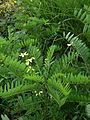 Amorpha fruticosa - Flickr - peganum (2).jpg