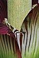 Amorphophallus titanum (EOS500D0517).jpg