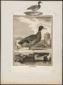 Anas boschas - 1700-1880 - Print - Iconographia Zoologica - Special Collections University of Amsterdam - UBA01 IZ17600377.tif