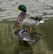 Anas platyrhynchos -London, England -two-8.jpg