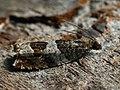 Ancylis achatana (40543471274).jpg