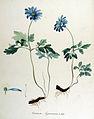 Anemone apennina — Flora Batava — Volume v14.jpg