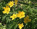 Anemone ranunculoides ENBLA05.jpg