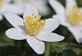 Anemones - kvitveis - hvitveis - 17.JPG