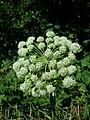 Angelica sylvestris subsp. sylvestris sl23.jpg