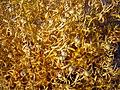 Angiosperms in iran گلها و گیاهان گلدار ایرانی 45.jpg