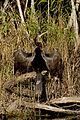 Anhinga, NPSPhoto, R. Cammauf (9099328573).jpg