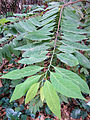 Annona squamosa (2).JPG