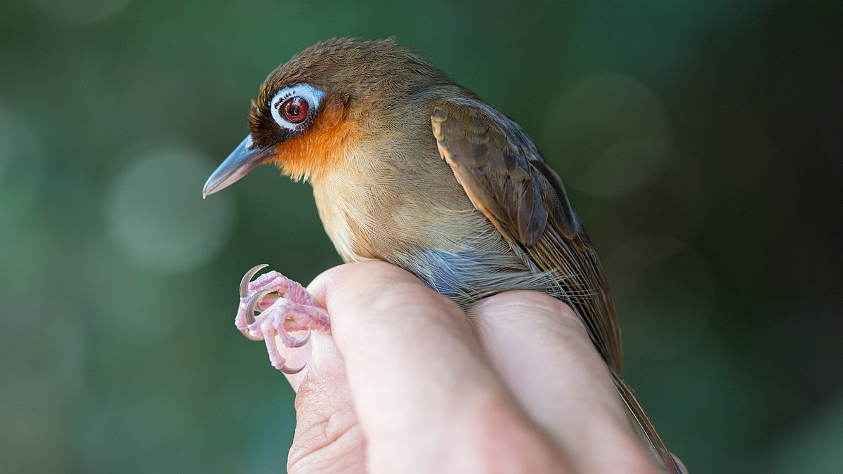 new species of antbird (Passeriformes: Thamnophilidae ...