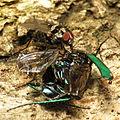 Anthomyiid fly feeding on tiger beetle carcass (15485946656).jpg