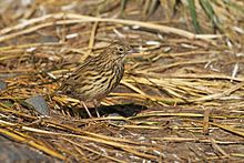 Anthus antarcticus -South Georgia, British overseas territory-8.jpg