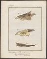 Antilope scripta - hoorn - 1700-1880 - Print - Iconographia Zoologica - Special Collections University of Amsterdam - UBA01 IZ21400259.tif
