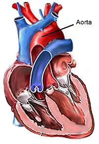 Hovedpulsåren Aorta