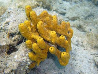 <i>Aplysina aerophoba</i> Species of sponge