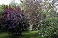 Apple and purple leaf tree Clavering Essex England.jpg
