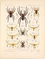 Arachnida Araneidea Vol 1 Table 12.jpg