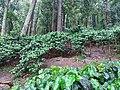 Araku Valley coffee plantations5.jpg