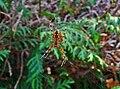 Araneus diadematus 01.jpg