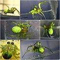 Araniella cucurbitina male (5704108469).jpg