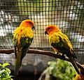 Aratinga solstitialis -Honolulu Zoo, Hawaii, USA-8a.jpg