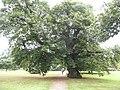 Arbre dans le parc du château de Blarney - panoramio (1).jpg