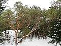 Arbutus menziesii (Madrone) - Flickr - brewbooks (1).jpg