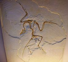 Archaeopteryx lithographica - cast of Humboldt Museum specimen.JPG