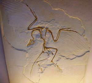 Archaeopteryx lithographica - cast of Humboldt...