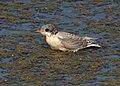 Arctic tern (14829589962).jpg