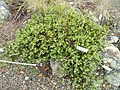 Arctostaphylos franciscana - University of California Botanical Garden - DSC09036.jpg