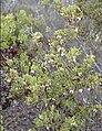 Arctostaphylosmyrtifolia.jpg