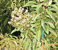 Ardisia Escallonioides (Marlberry) Bush (28591089050).jpg