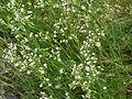 Arenaria procera glabra3.jpg