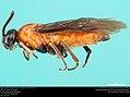 Argid sawfly (Argidae, Zynzus nigropectus (Norton)) (37094378503).jpg