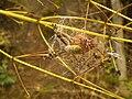 Argiope bruennichi with eggsack.JPG