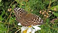 Argynnis paphia02.jpg