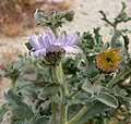 Arida arizonica 4.jpg