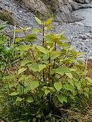 Aristotelia serrata in Westland NP 03.jpg