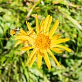 Arnica montana in Morzine (2).jpg