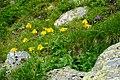 Arnika (Arnica montana), Nationalpark Hohe Tauern, Kärnten.jpg