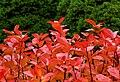 Aronia leaves on a rainy autumn day in Tuntorp 13.jpg
