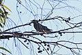 Artamus superciliosus (31847101224).jpg