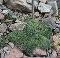 Artemisia nitida GiardinoBotanicoAlpinoViote 20170902 A.jpg