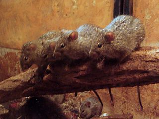 African grass rat species of mammal